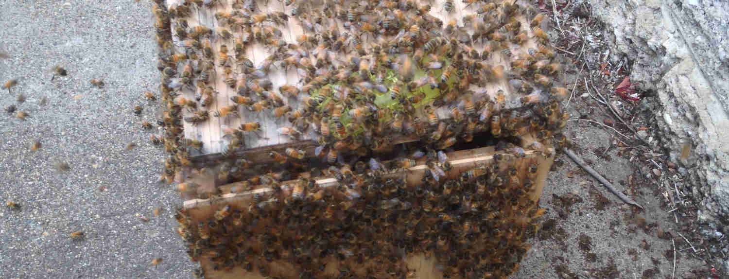 bee swarms removed in brisbane city