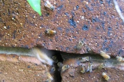 brisbane redlands logan bee removal
