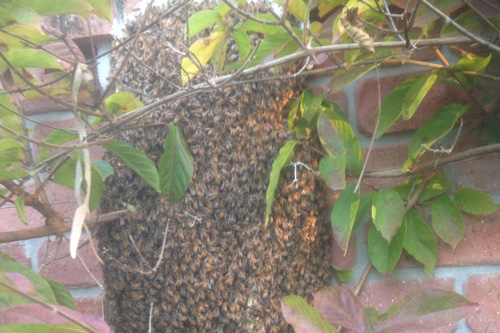 bee swarm at my house