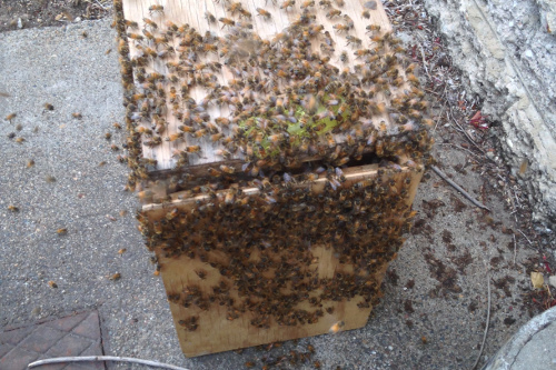 Brisbane logan redlands Bee swarm removal
