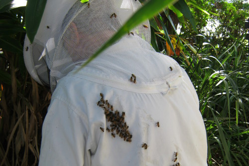 brisbane bee removal