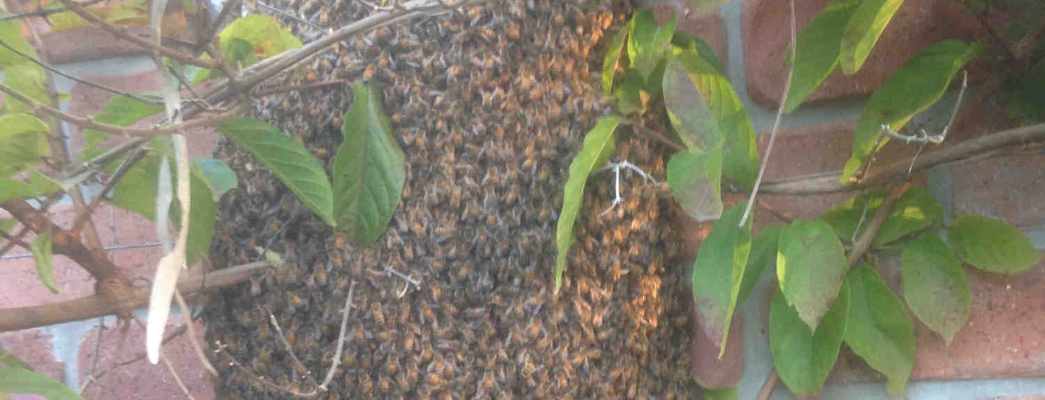 Bee Swarm Removal Brisbane