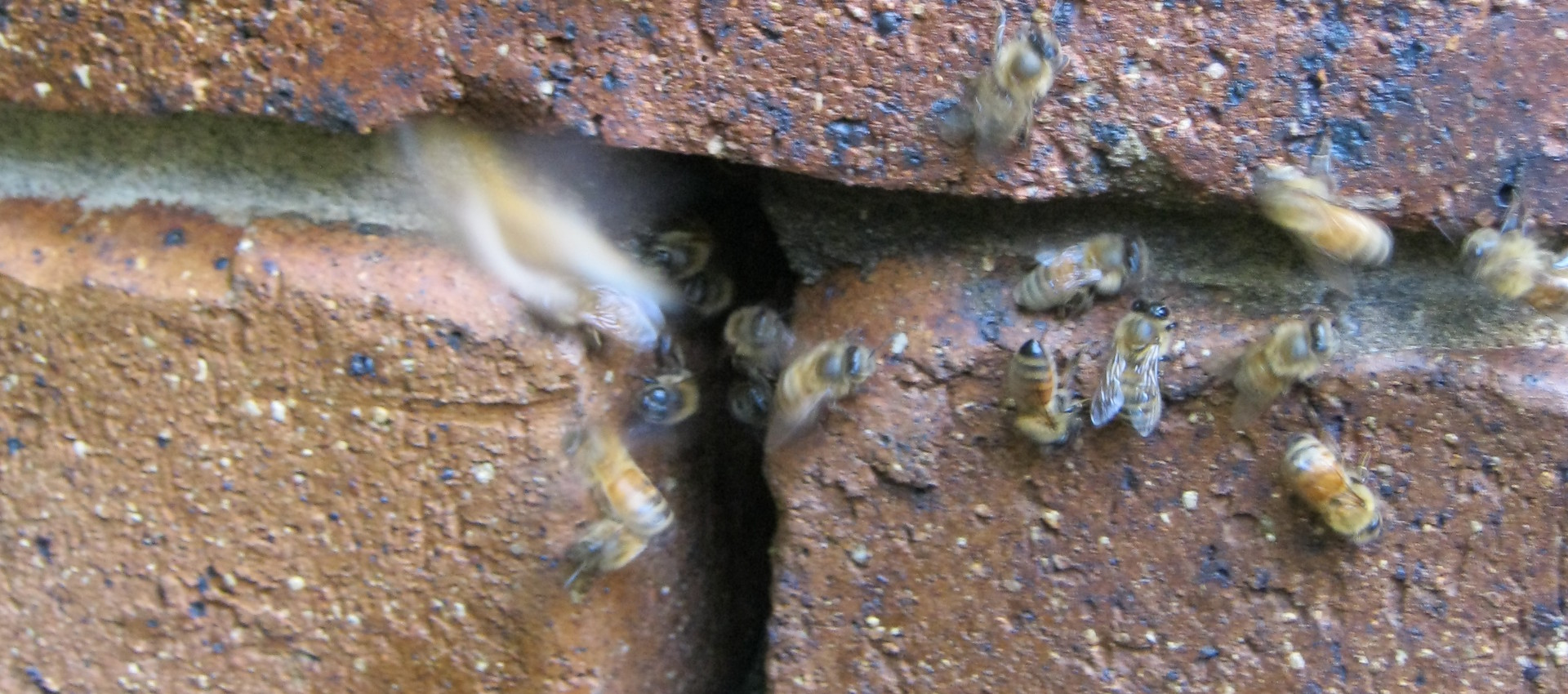 Remove bees from your wall- Brisbane Redlands Logan Ipswich